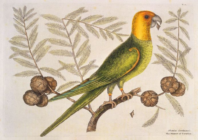 Catesby, Mark: Parrot of Carolina on Cypress Tree. Fine Art Print/Poster (4749)